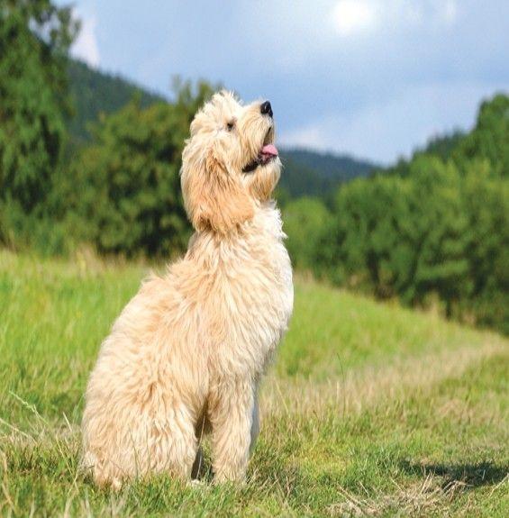 Μίγμα αιθερίων για Ηρεμία Σκύλων