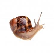 Έκκριμα Σαλιγκαριού (Snail Secretion)